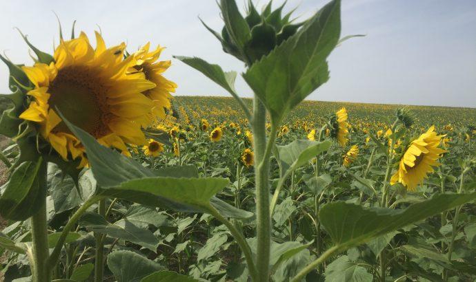 Sonnenblumenfelder auf dem Weg nach Cantillana & die Ruinen von Italica